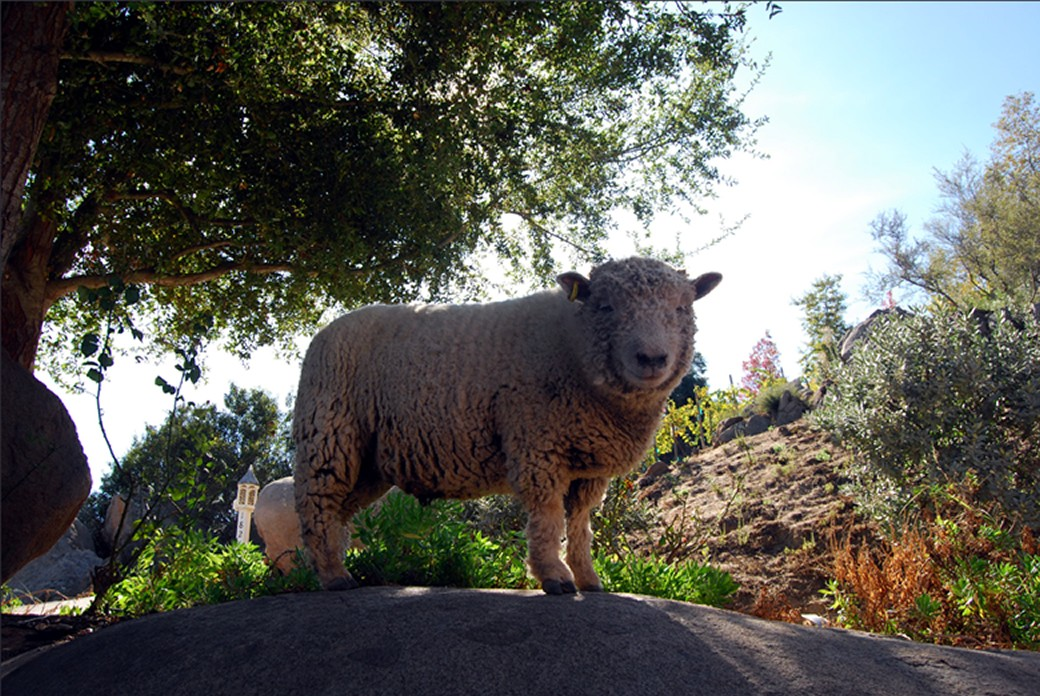 Babydoll Sheep - Organic & Sustainable Farming