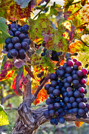 Eagles Nest Winery - Merlot Grapes